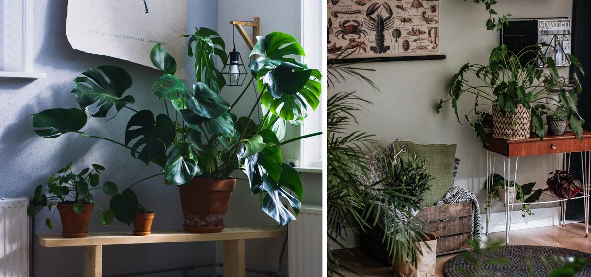 Monstera deliciosa et plantes posées sur un petit banc ou une console