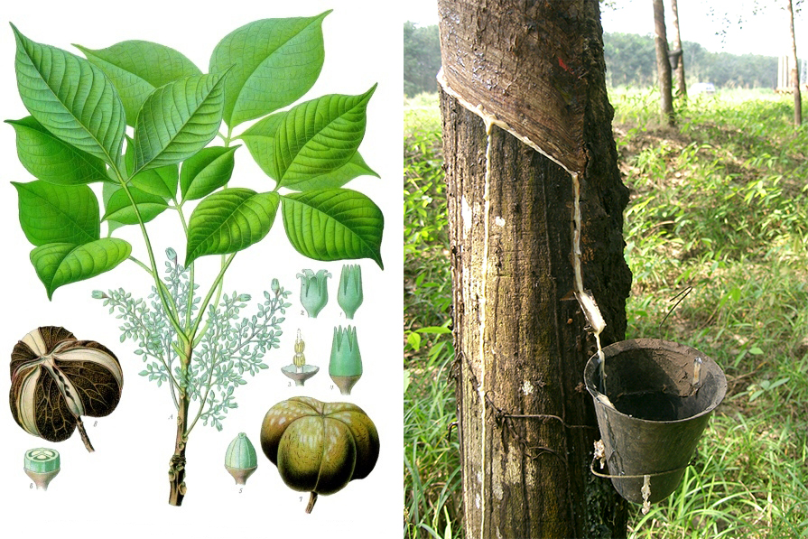 Arbre Hevea Brasiliensis pour produire du latex naturel : matelas, canapé, literie, ameublement et mousses